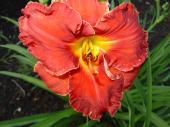 Fleur vivace - Hémérocalle orangé
