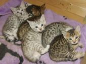 3 adorables chatons Bengale loof